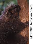 北方american豪猪图片