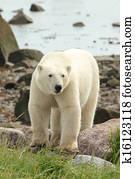 a同时,北极熊,走,同时,,流口水蜜蜂紫金融图吧领取图片
