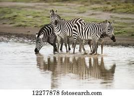 Zebra crossing Stock Photo   1774618   Fotosearch