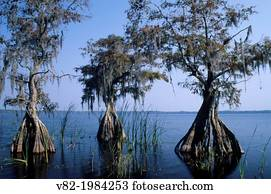 Cypress at Lake Russell, The Disney Wilderness Preserve, Florida.