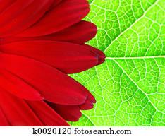 Gerber on the leaf
