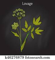 Lovage levisticum officinale , culinary and medicinal herb