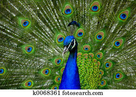 peacock fanning