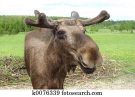 Moose talking