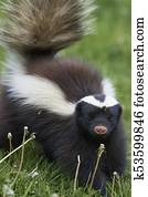Humboldt's hog-nosed skunk
