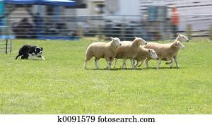 Sheep Dog 4950