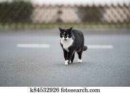 tuxedo stray cat walking on the street
