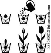 wachstum, zyklus, tulpenblüte, in, topf