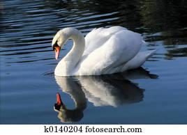 Swan in mirror