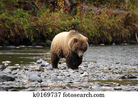 Grizzly bear approaching