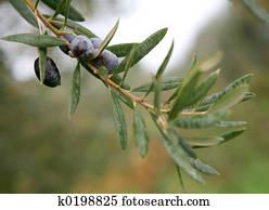 Olive branch 2