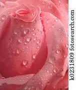 Pink Rose, droplets