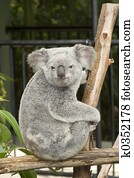 A cute koala bear at Australia Zoo