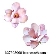 beautiful magnolia, Spring flower isolated