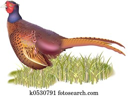 Forest pheasant