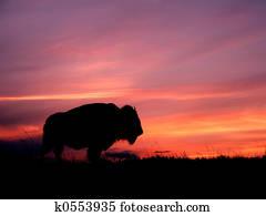 sonnenuntergang, bison