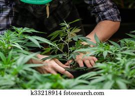 farmer working with his marijuana