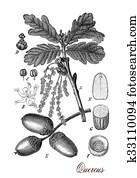 Oak tree, botanical vintage engraving