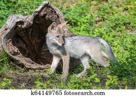 Coyote Pup Playing in Front of a Hollow Log