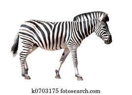 isolated zebra