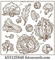 Salad lettuce and cabbages vegetables vector sketch icons