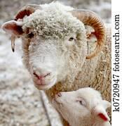 Sheep and lamb