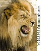 roaring lion close-up