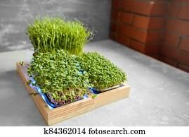 Fresh juicy green microgreens grow in trays.