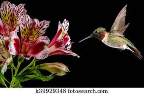 Hummingbird feeding from pink flower