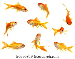 Group of goldfishes