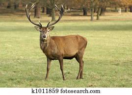 Stag Deer
