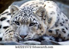 The Rare Snow Leopard
