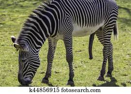 Stock Photo Of Zebra Mating K15060283 Search Stock Images Poster