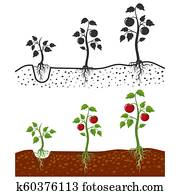Tomato plant with roots vector growing stages - cartoon style and silhouettes of tomatoes isolated on white background