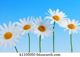 Daisy flowers on blue background