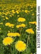 Dandelions field.