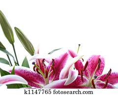 Star Gazer Lily Background