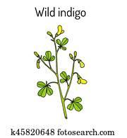Wild-indigo Baptisia tinctoria , medicinal plant