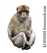 Isolated Monkey on white