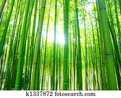 giant bamboos forest