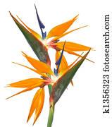 Bird of Paradise Strelitzia