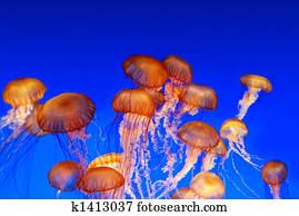 School of sea nettle jellyfish - Chrysaora fuscescens