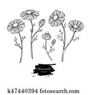 Chamomile vector drawing set. Isolated daisy wild flower and leaves. Herbal engraved style illustration.