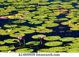 Pink Flowers in the Water Lilies