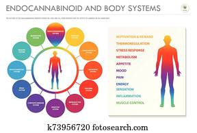 Endocannabinoid and Body Systems horizontal business infographic