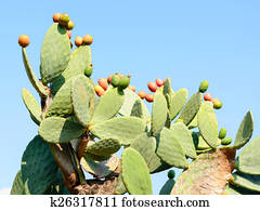 Cactus Opuntia with red ripe fruits