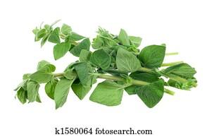 fresh oregano herb