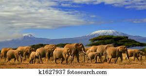 African Elephant Herd And Kilimanjaro Tanzania