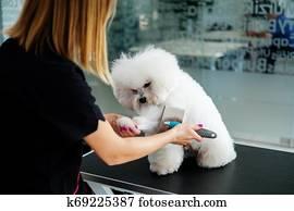 Bichon Fries at a dog grooming salon