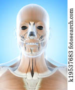 The facial muscles